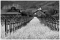 Mustard flowers, vineyard, and winery building. Napa Valley, California, USA ( black and white)