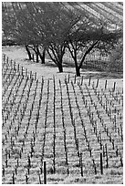 Rows of vines and trees in early spring. Napa Valley, California, USA (black and white)