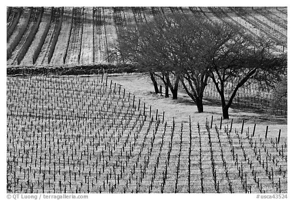Vineyard in spring seen from above. Napa Valley, California, USA (black and white)
