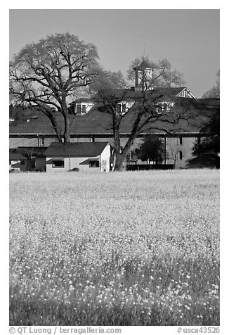 Yellow mustard flowers field and winery. Sonoma Valley, California, USA (black and white)