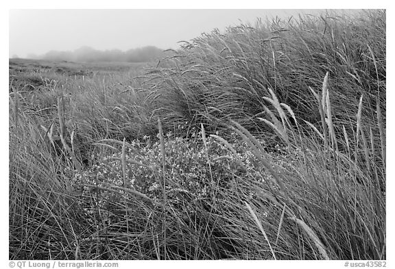 Tall grasses and fog, Manchester State Park. California, USA (black and white)