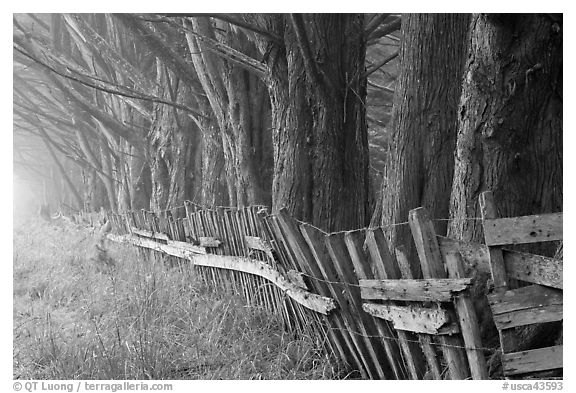 Old fence and row of trees in fog. California, USA (black and white)