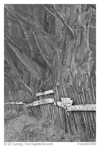 Twisted trees and old fence in fog. California, USA (black and white)