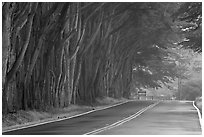 Tree tunnel in fog. California, USA (black and white)