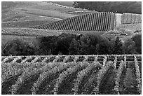 Vineyards in the fall. Napa Valley, California, USA ( black and white)