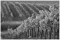 Wine grape vines in vineyard in fall. Napa Valley, California, USA ( black and white)