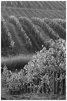 Golden fall colors on grape vines. Napa Valley, California, USA ( black and white)