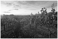 Autumn Sunset over vineyard. Napa Valley, California, USA ( black and white)