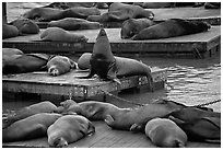 California Sea lions, pier 39, Fishermans wharf. San Francisco, California, USA ( black and white)