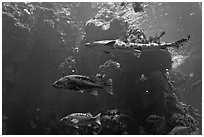 Northern California fish, Steinhart Aquarium,  California Academy of Sciences. San Francisco, California, USA<p>terragalleria.com is not affiliated with the California Academy of Sciences</p> (black and white)