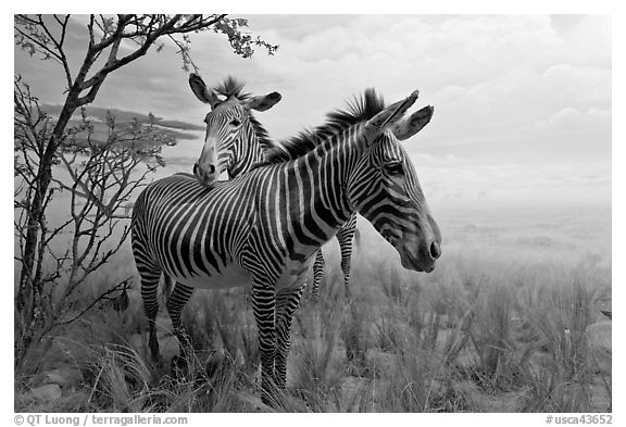 Black and white picture photo zebras in savanah landscape kimball natural history museum california academy of sciences san francisco california usa