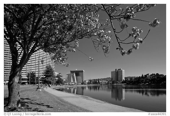 Tree in bloom on the shore of Lake Merritt. Oakland, California, USA (black and white)