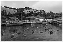 Ducks, marina, and hills Lake Chabot, Castro Valley. Oakland, California, USA (black and white)