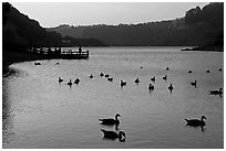 Ducks and pier at sunset, Lake Chabot, Castro Valley. Oakland, California, USA (black and white)