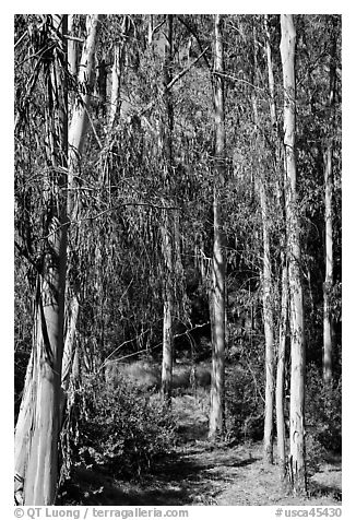 Eucalyptus trees, Berkeley Hills, Tilden Regional Park. Berkeley, California, USA (black and white)