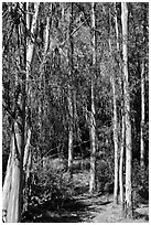 Eucalyptus trees, Berkeley Hills, Tilden Regional Park. Berkeley, California, USA ( black and white)