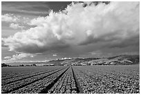 Field of vegetable and cloud. Watsonville, California, USA (black and white)
