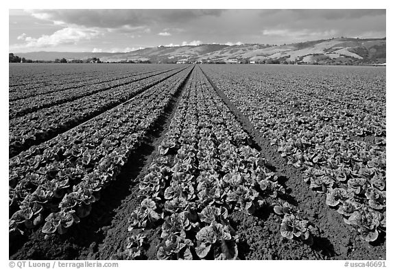 Long rows of lettuce. Watsonville, California, USA (black and white)