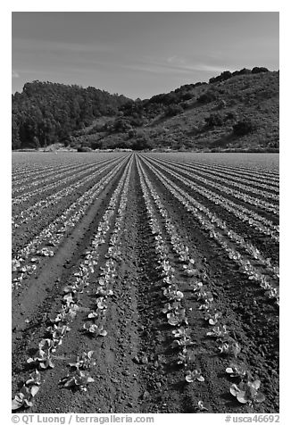 Vegetable farming. Watsonville, California, USA (black and white)