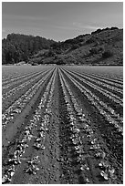 Vegetable farming. Watsonville, California, USA ( black and white)