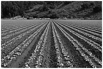 Vegetable crops. Watsonville, California, USA (black and white)