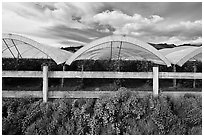 Protected raspberry crops. Watsonville, California, USA (black and white)