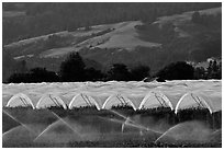 Canopies for raspberry growing. Watsonville, California, USA (black and white)