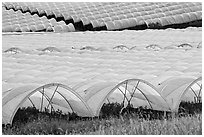 Canopies for farming raspberries. Watsonville, California, USA (black and white)