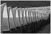 Raspberry canopies. Watsonville, California, USA (black and white)