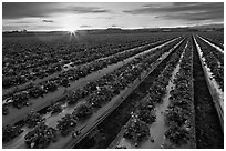 Raws of strawberries and sunset. Watsonville, California, USA (black and white)