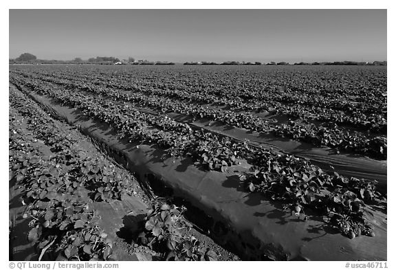 Cultivation of strawberries using plasticulture. Watsonville, California, USA (black and white)
