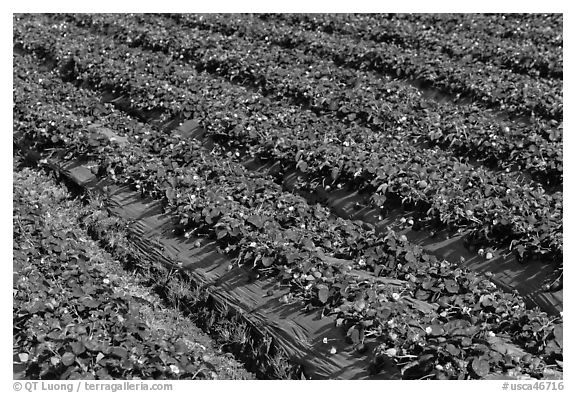 Rows of strawberries close-up. Watsonville, California, USA (black and white)