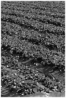 Strawberry crops on raised beds. Watsonville, California, USA ( black and white)