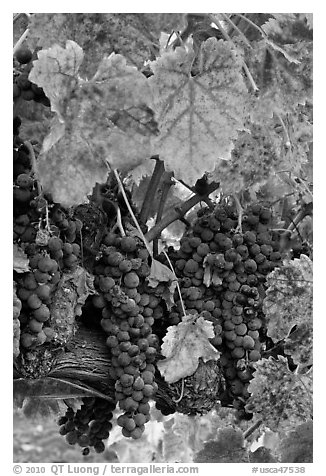 Red wine grapes on vine in fall. Napa Valley, California, USA (black and white)