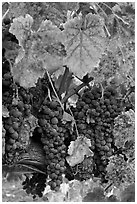 Red wine grapes on vine in fall. Napa Valley, California, USA ( black and white)