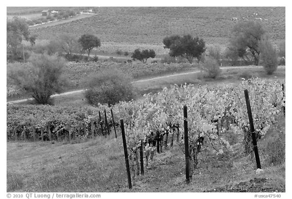Vineyard landscape in autumn. Napa Valley, California, USA (black and white)