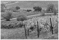 Vineyard landscape in autumn. Napa Valley, California, USA ( black and white)