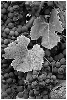 Close-up of grapes and red leaves in autumn. Napa Valley, California, USA ( black and white)