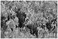 Grape and red grape leaves on vine in fall vineyard. Napa Valley, California, USA (black and white)