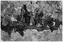 Grapes and red leaves on vine in fall. Napa Valley, California, USA (black and white)