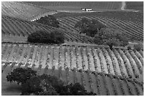 Oak trees and vineyard. Napa Valley, California, USA ( black and white)