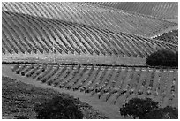 Hillside with rows of vines. Napa Valley, California, USA ( black and white)