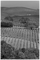 Carneros Valley Vineyard landscape in autumn. Napa Valley, California, USA ( black and white)