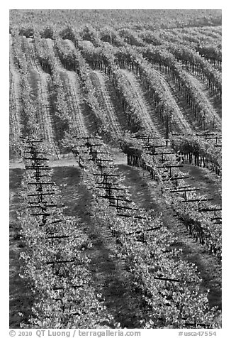 Vineyard with rows of vines in autumn. Napa Valley, California, USA (black and white)