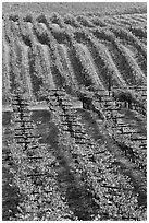 Vineyard with rows of vines in autumn. Napa Valley, California, USA ( black and white)
