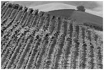 Colorful row of vines and hazy hills. Napa Valley, California, USA ( black and white)