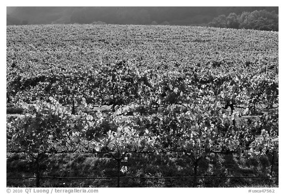 Large vineyard with golden fall colors. Napa Valley, California, USA (black and white)
