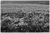 Large vineyard with golden fall colors. Napa Valley, California, USA ( black and white)