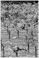Wine grapes cultivated on steep terraces. Napa Valley, California, USA ( black and white)