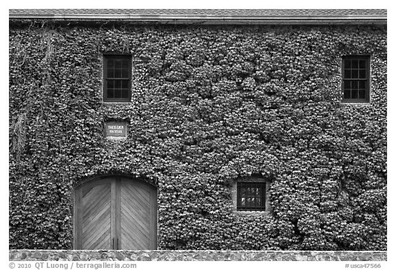 Facade covered with ivy in fall, Hess Collection winery. Napa Valley, California, USA